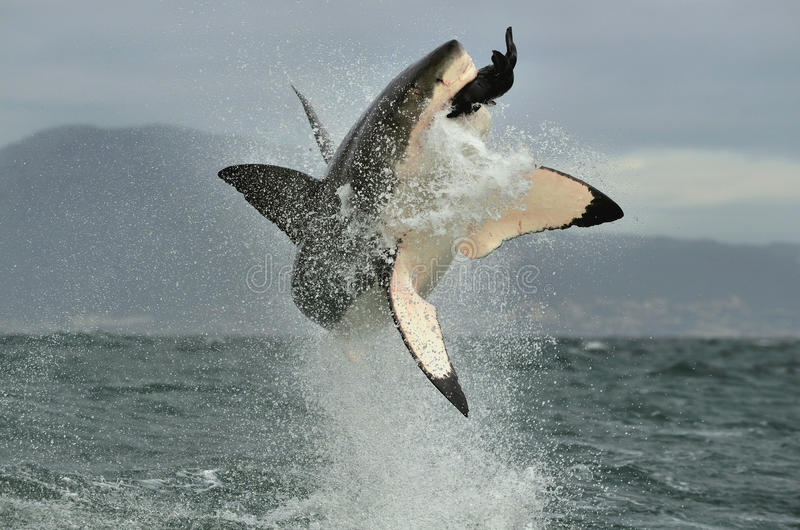 Grand requin blanc (carcharias de Carcharodon) ouvrant une brèche dans une attaque photographie stock libre de droits