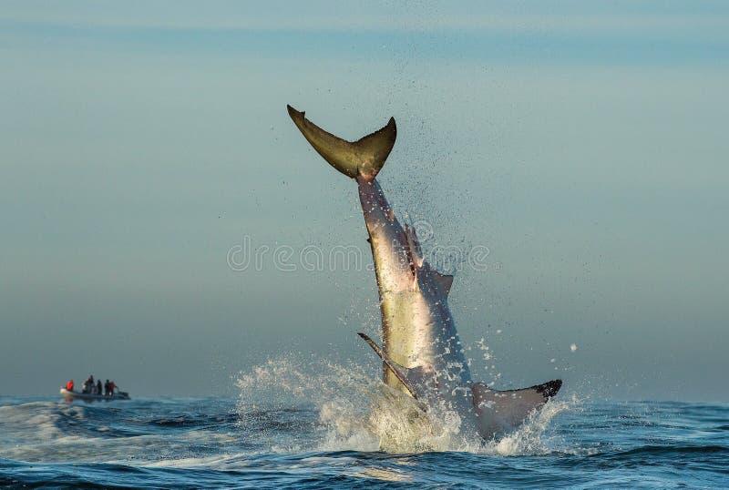 Grand requin blanc sautant photo stock