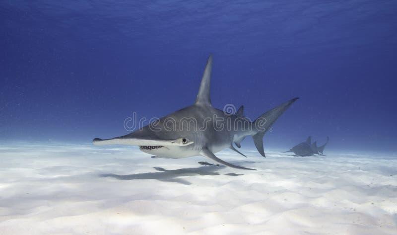 Grand requin de poisson-marteau photographie stock
