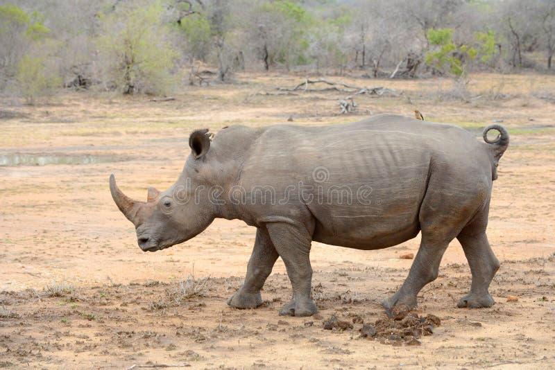 Grand rhinocéros en parc national de Kruger photo libre de droits