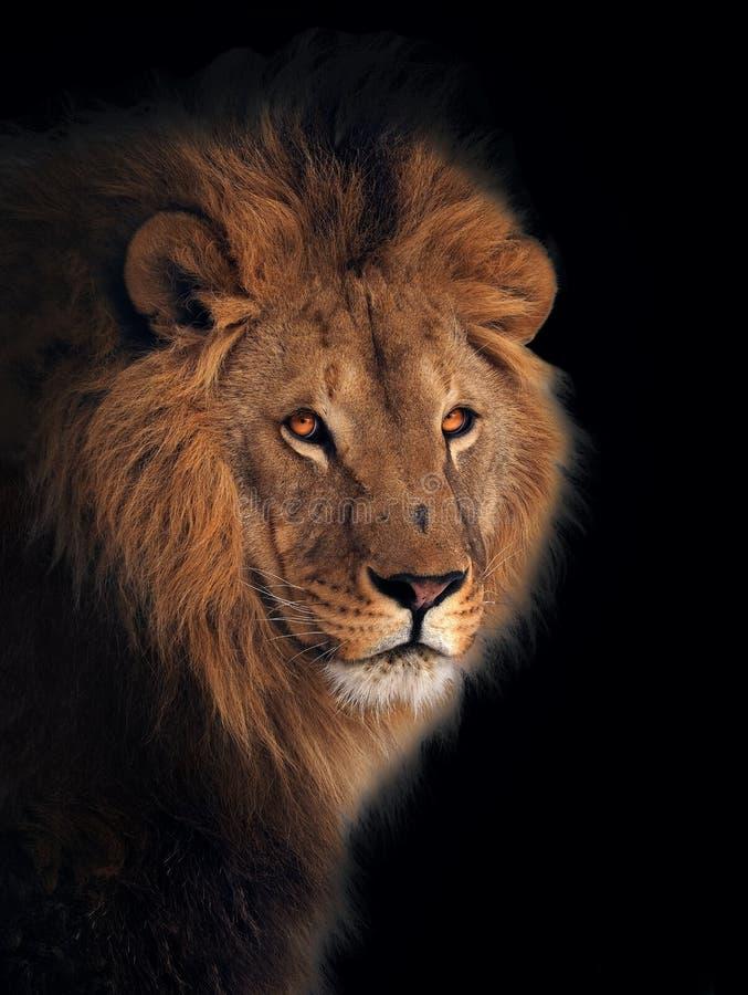 Grand roi de lion des animaux d'isolement au noir images stock