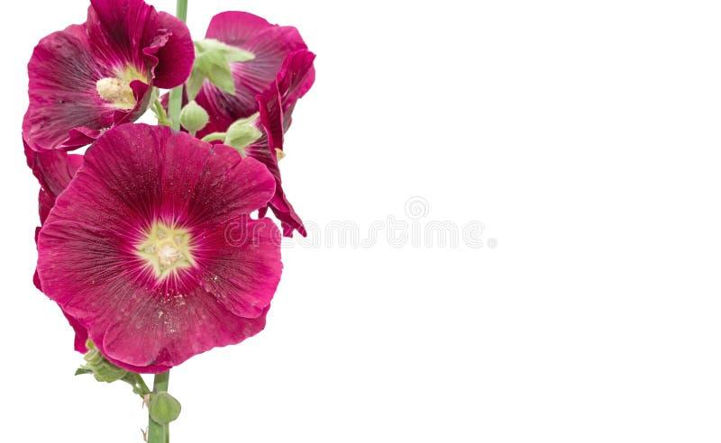 Grand rose de fleur sur le blanc photographie stock libre de droits