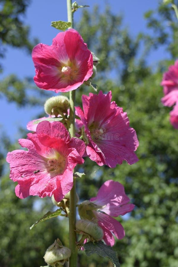 Grand rose et fleurs sensibles rouges de mauve en fleur photo libre de droits