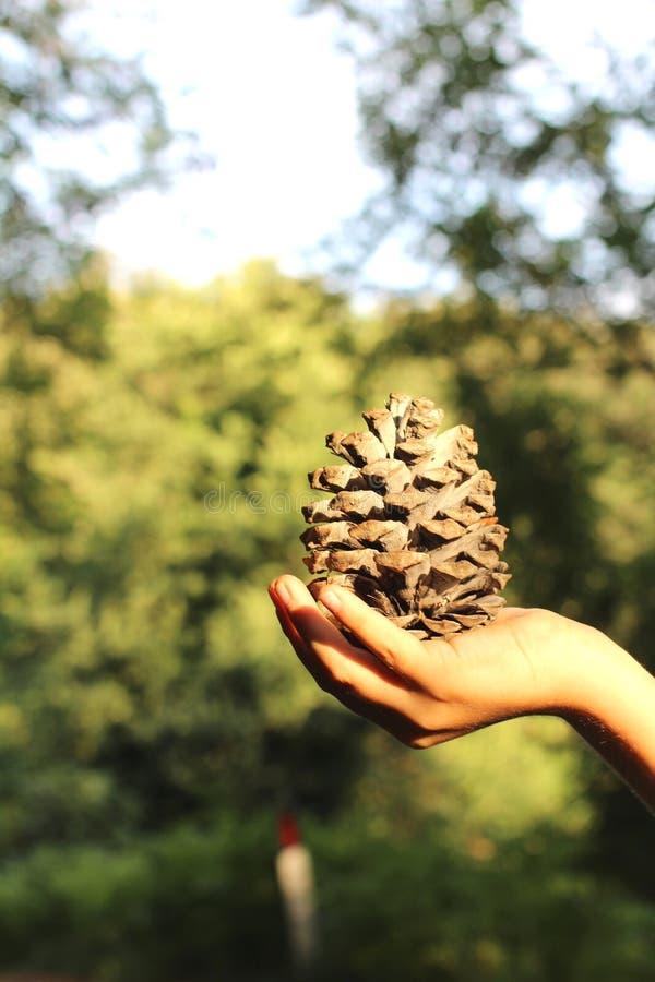 Grand sapin-cône dans une main du ` s d'enfant photographie stock libre de droits