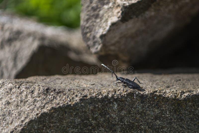 Grand scarabée noir de Capricorne photographie stock