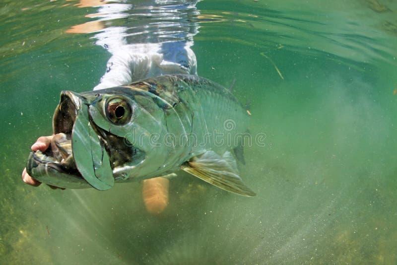 Grand tarpon sous la version d'eau - pêche de mouche photos stock
