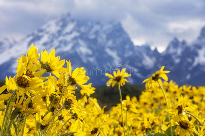 Grand teton mountains with flowers in foreground royalty free stock images