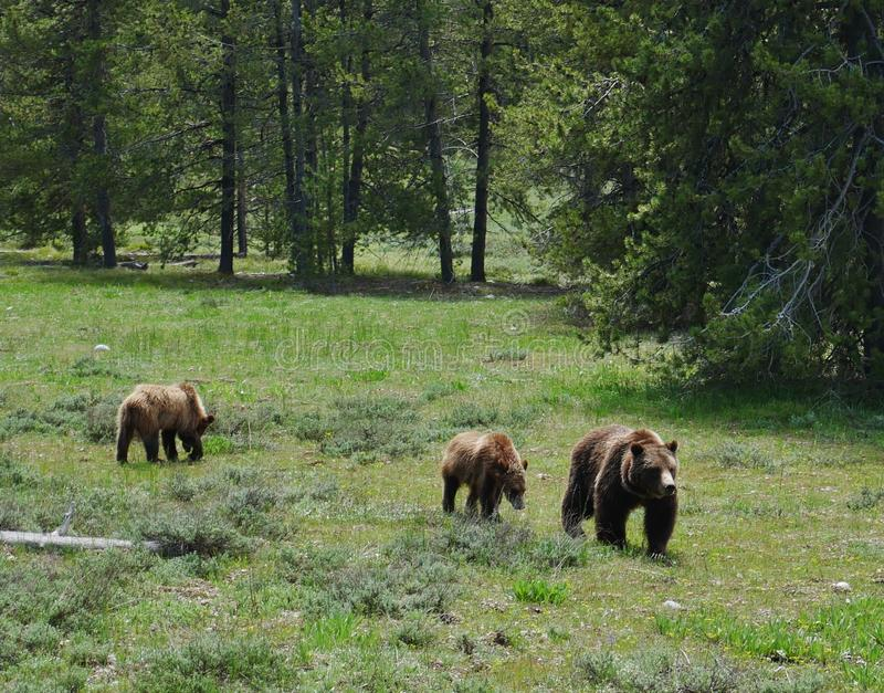 Grand Teton National Park, Grizzly Bear and cubs stock image