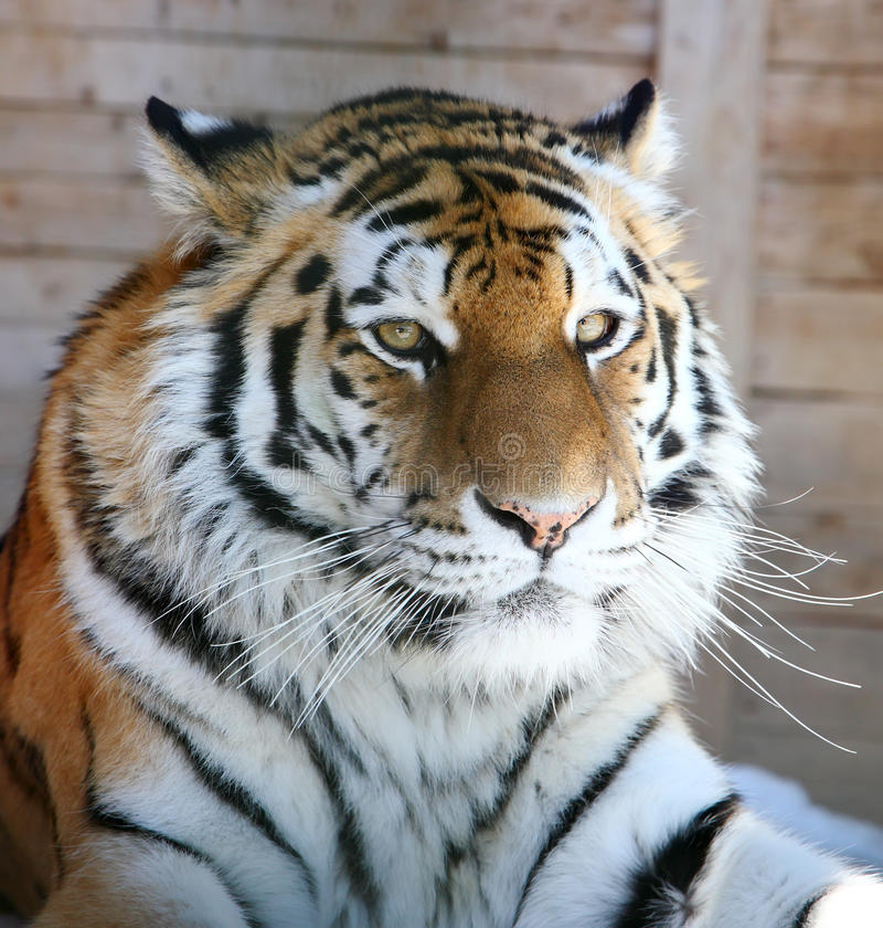 grand tigre images stock