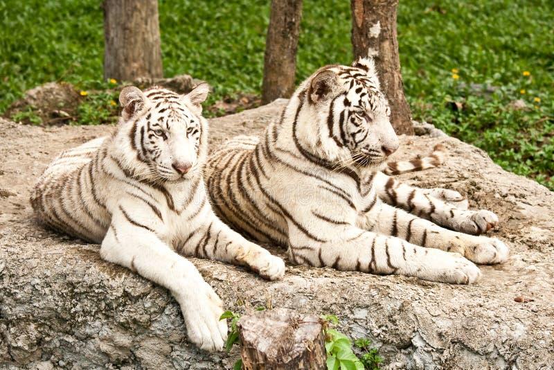 Grand tigre blanc image libre de droits