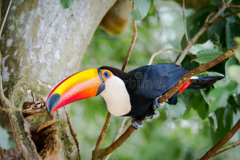 Grand toucan image stock