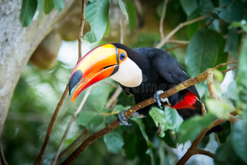Grand toucan images stock
