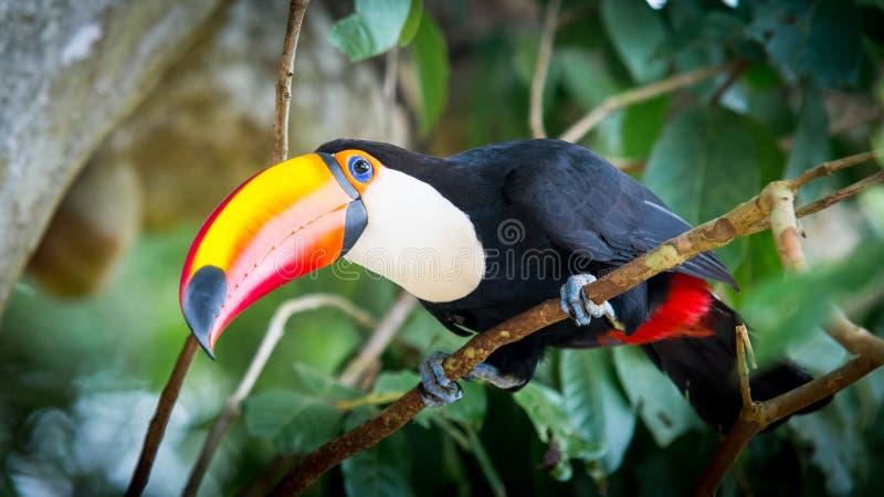 Grand toucan image libre de droits
