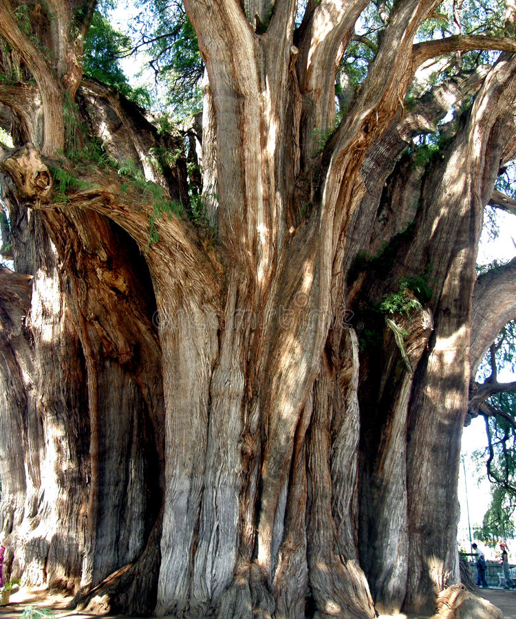Grand tree. Travel Mexico Oachaca, Tule, grand, tree, fattest in the world, miracle nature royalty free stock photography