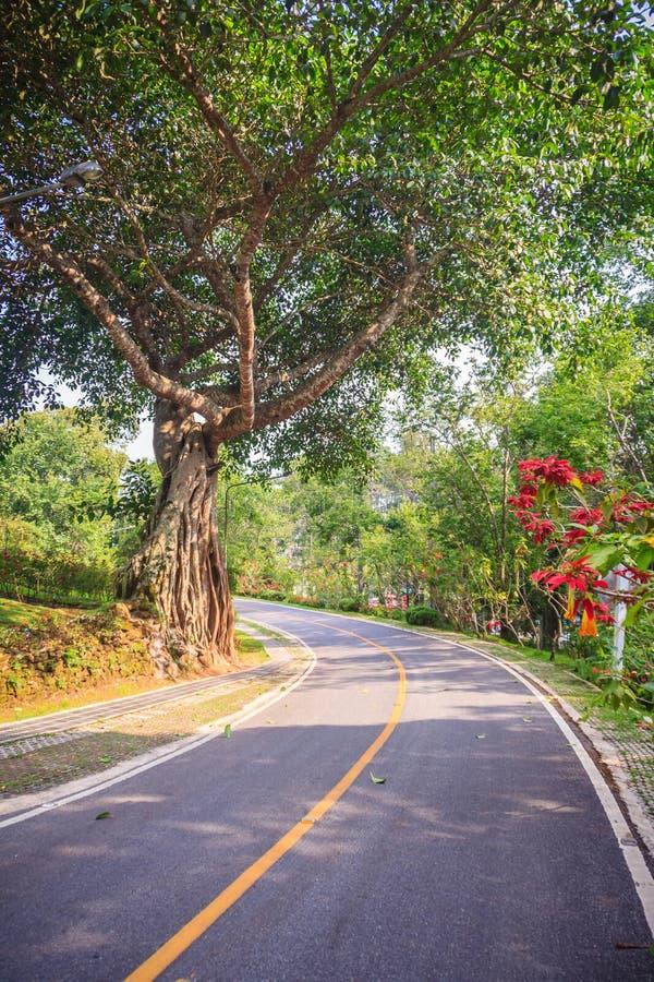 Grand tronc de banian au bord de la route en parc photos stock