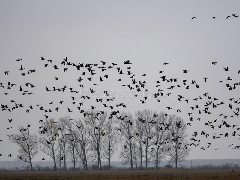 Grand troupeau d'anser d'Anser d'oie cendrée de vol, en parc national de la GY de ¡ de HortobÃ, la Hongrie photos libres de droits