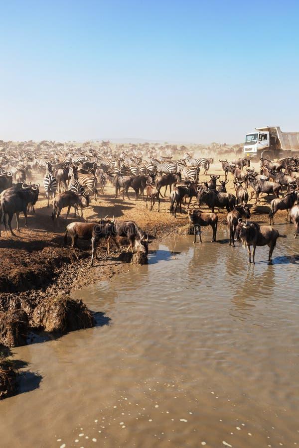 Grand troupeau de gnou et de zèbres en parc national de Serengeti image libre de droits
