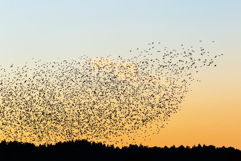 Grand troupeau des choucas dans le coucher du soleil images stock