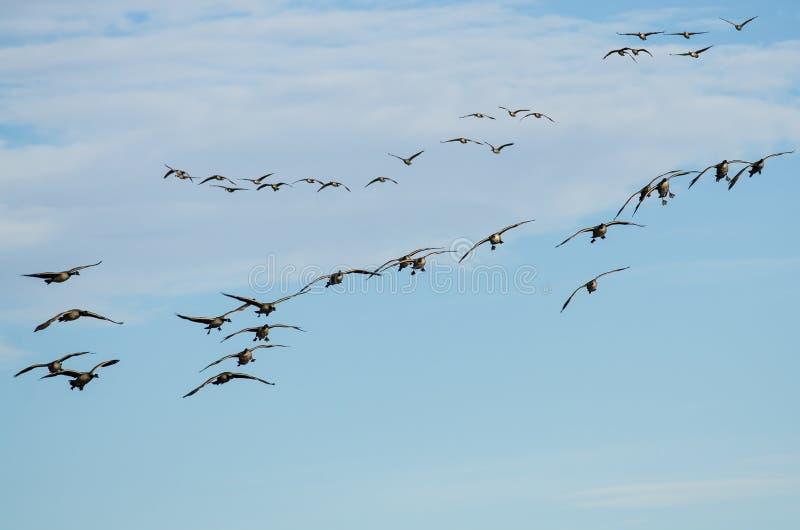 Grand troupeau des oies de Canada entrant pour un atterrissage image libre de droits