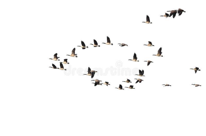 Grand troupeau des oies de Canada volant sur un fond blanc photographie stock