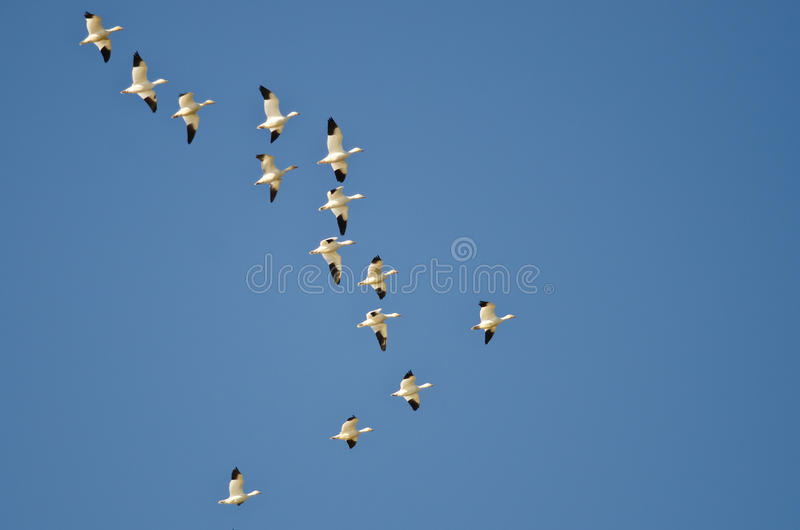 Grand troupeau des oies de neige volant dans un ciel bleu photographie stock