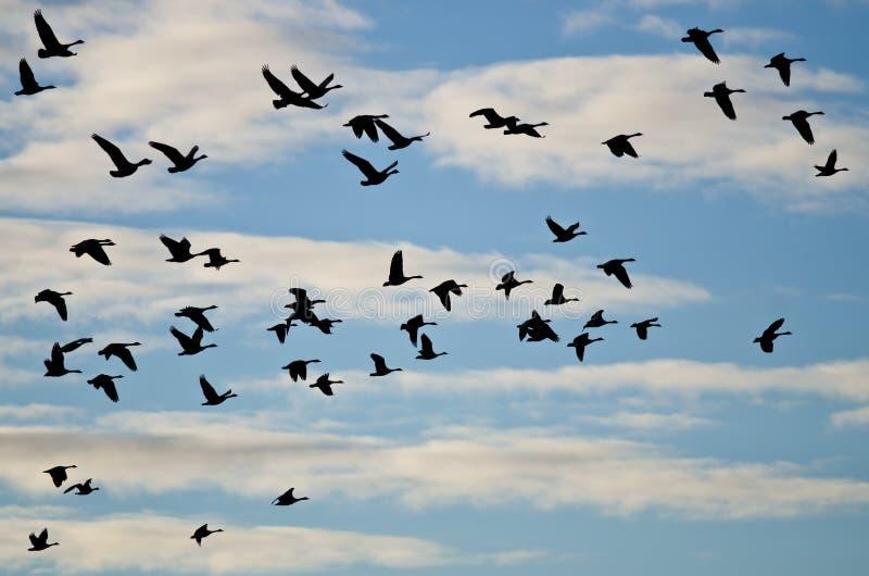 Grand troupeau des oies silhouettées dans le ciel nuageux photo stock