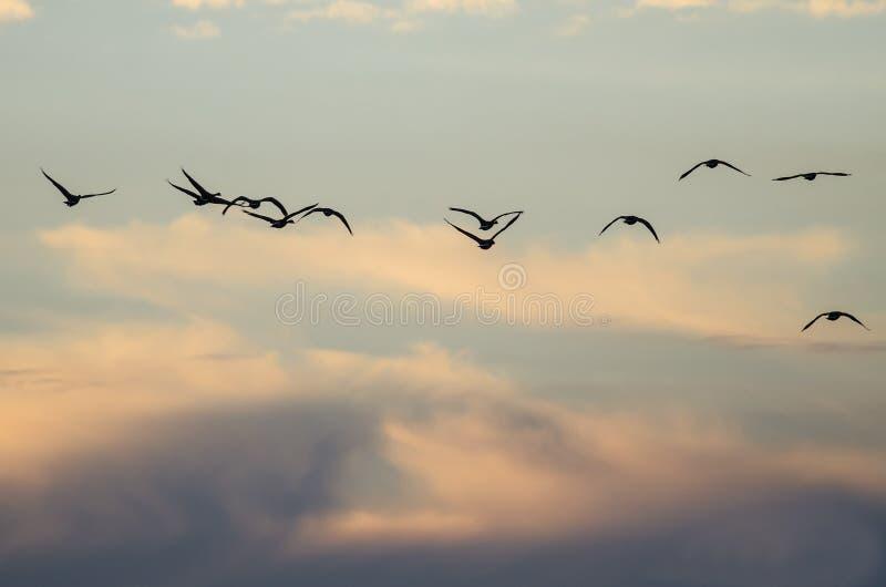 Grand troupeau des oies volant dans le beau ciel de coucher du soleil photos stock