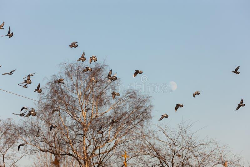 Grand troupeau des pigeons photographie stock libre de droits