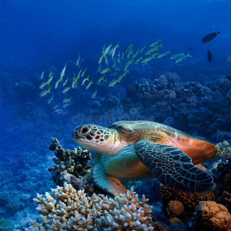 Grand turle de mer sous-marin image libre de droits