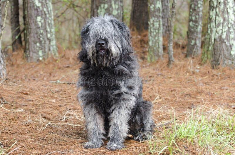 Grand type pelucheux gris chien de chien de berger se reposant dehors photos libres de droits