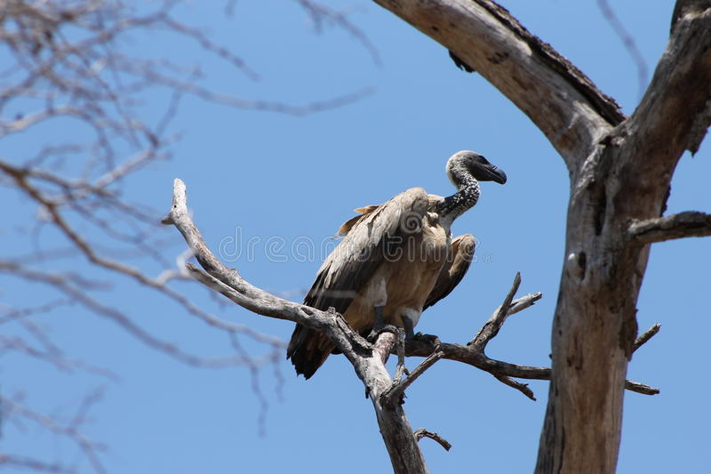 Grand vautour photos stock