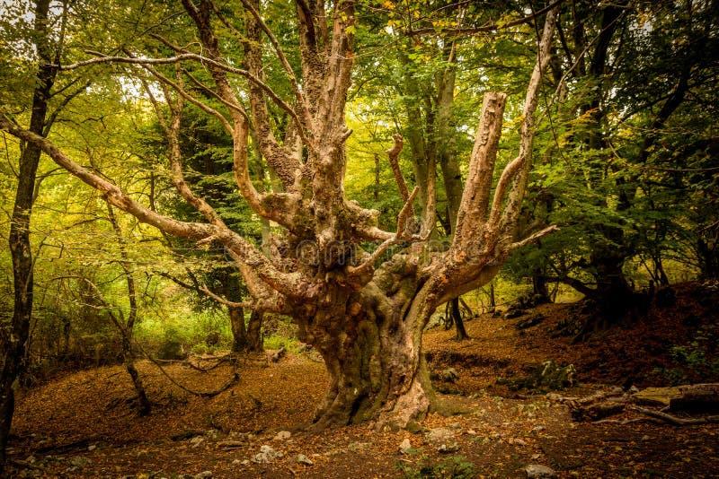Grand vieil arbre dans les bois image stock