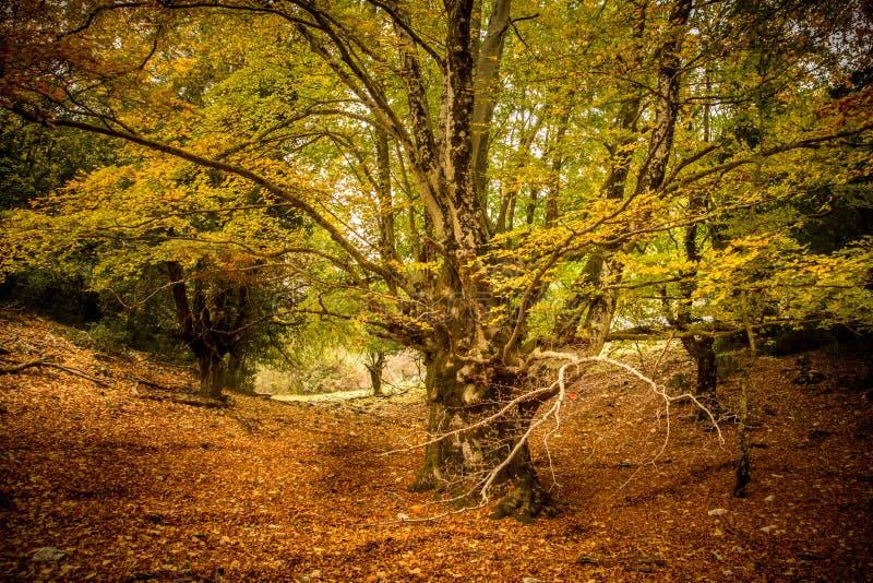 Grand vieil arbre en automne images stock