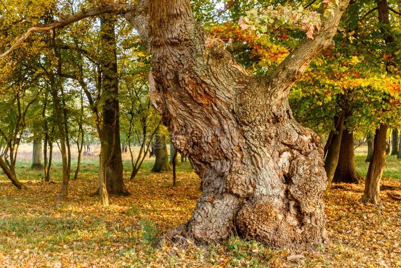 Grand vieux chêne dans la forêt d'automne images stock