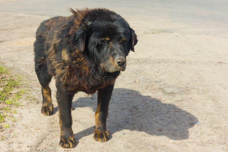Grand, vieux plan rapproché de chien Très un vieux, sans abri, photographie stock libre de droits