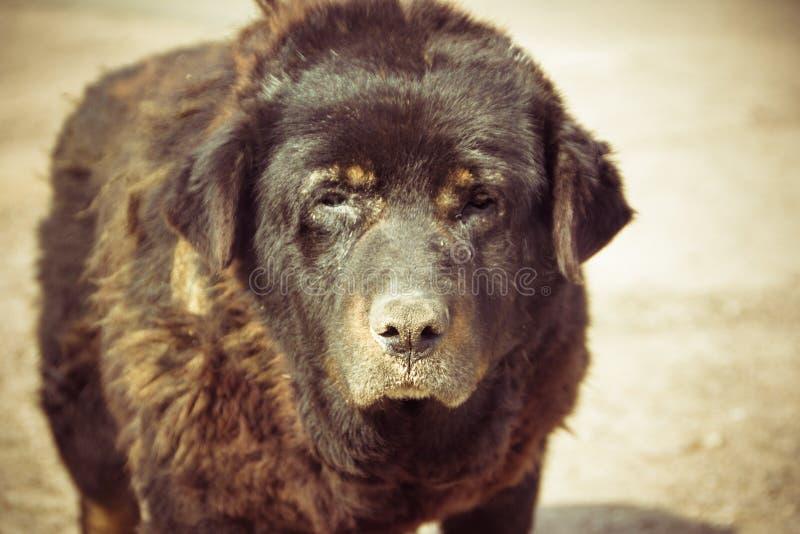 Grand, vieux plan rapproché de chien Très un vieux, sans abri, photos libres de droits