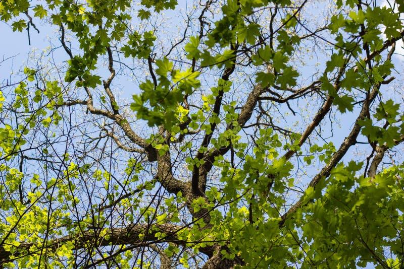 Grand vieux tronc et branches d'arbre entourés par l'érable et le Li verts photographie stock libre de droits