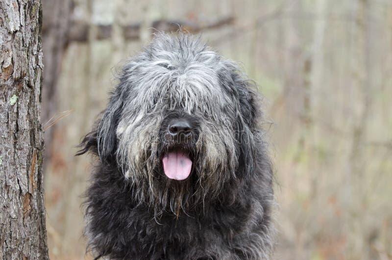Grand vieux type anglais délabré pelucheux gris marié de Newfie de chien de berger des besoins de chien image stock