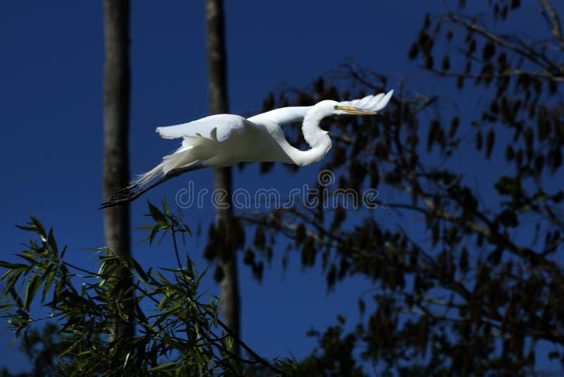 Grand vol blanc de héron avec un ciel bleu-foncé, la Floride photographie stock