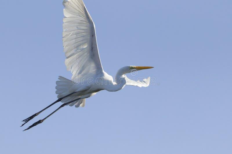 Grand vol blanc de héron en ciel bleu images libres de droits