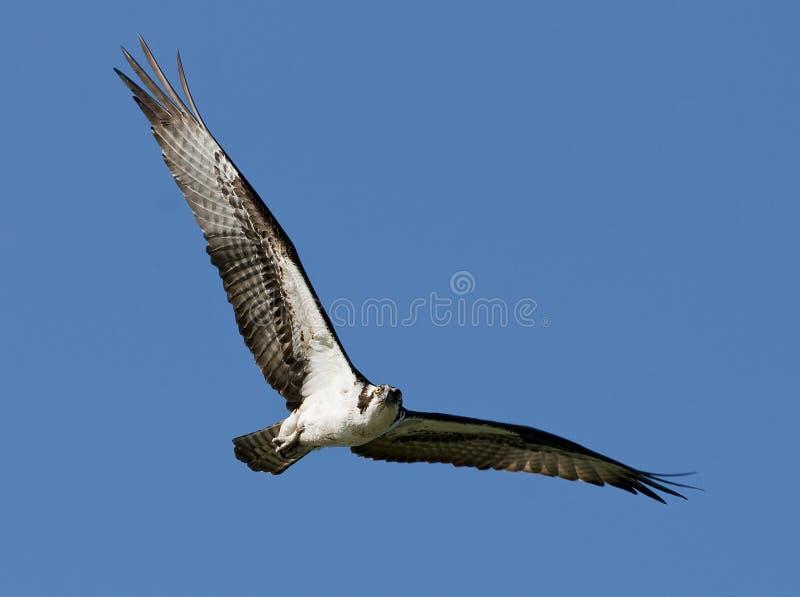 Grand vol d'Osprey d'oiseau image libre de droits