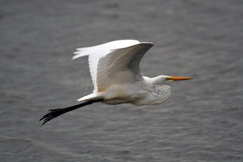 Grand vol de héron photos stock