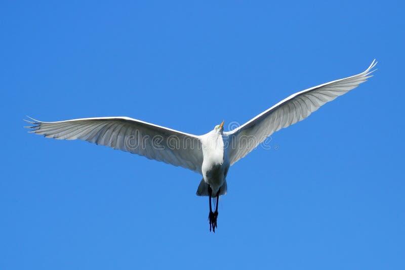Grand vol de héron en ciel bleu image libre de droits