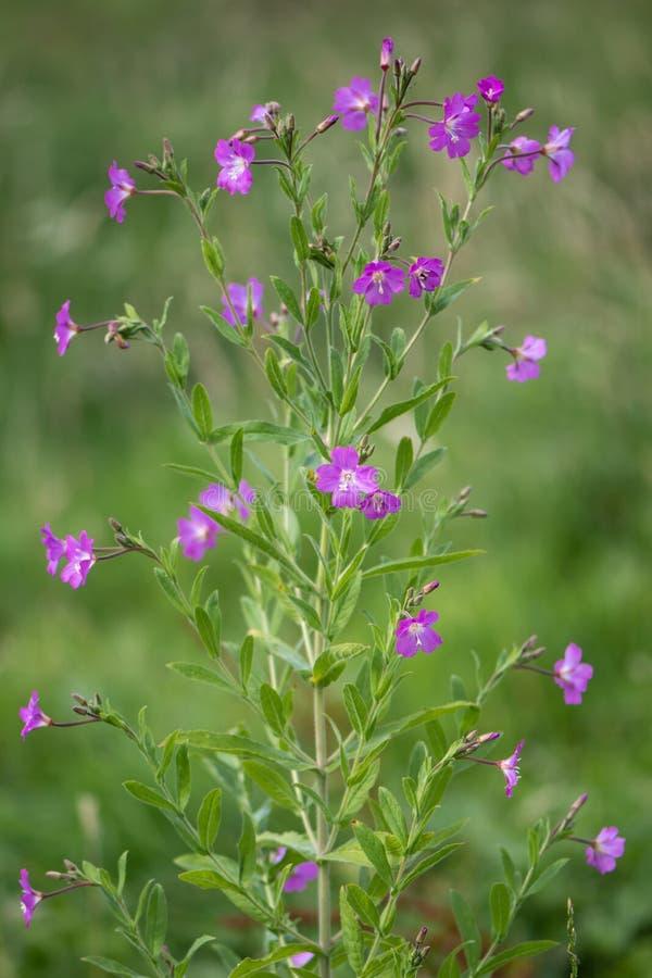 Grand willowherb et x28 ; Hirsutum& x29 d'Epilobium ; usine en fleur image libre de droits