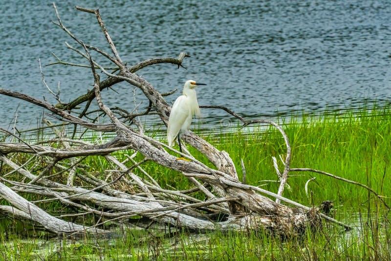 Grande água salgada branca Marsh Dartmouth Mass do verde de Padnaram do Egret foto de stock royalty free