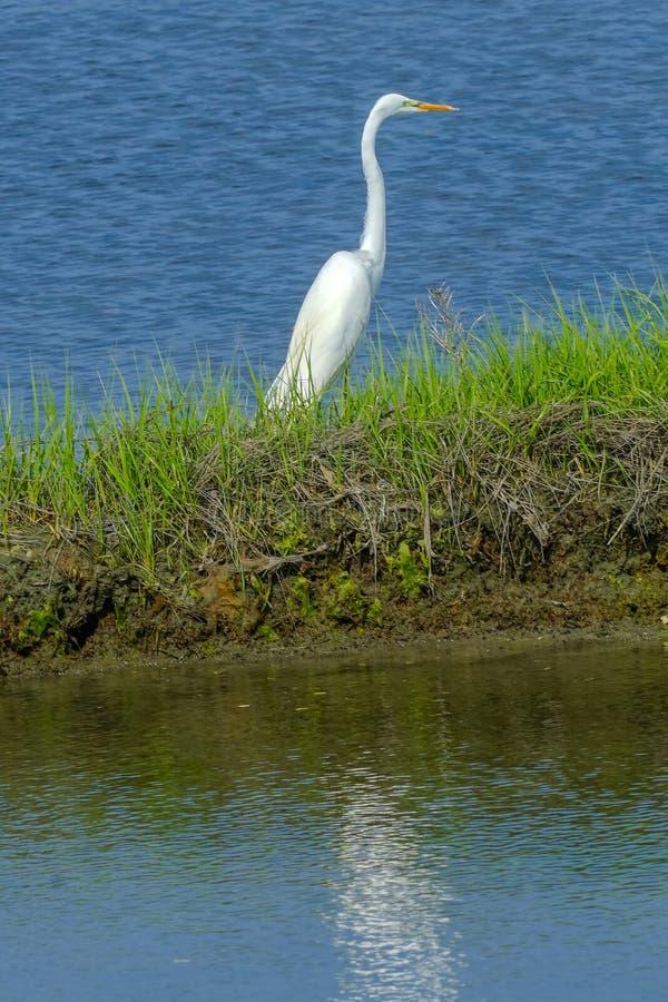 Grande água salgada branca Marsh Dartmouth Mass do verde de Padnaram do Egret imagem de stock