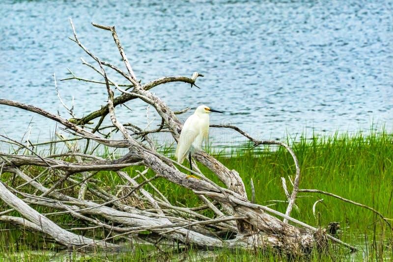 Grande água salgada branca Marsh Dartmouth Mass do verde de Padnaram do Egret fotografia de stock
