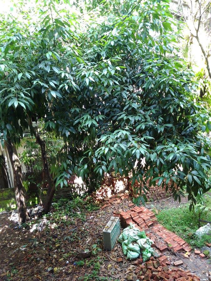 Grande árvore da folha verde fotos de stock