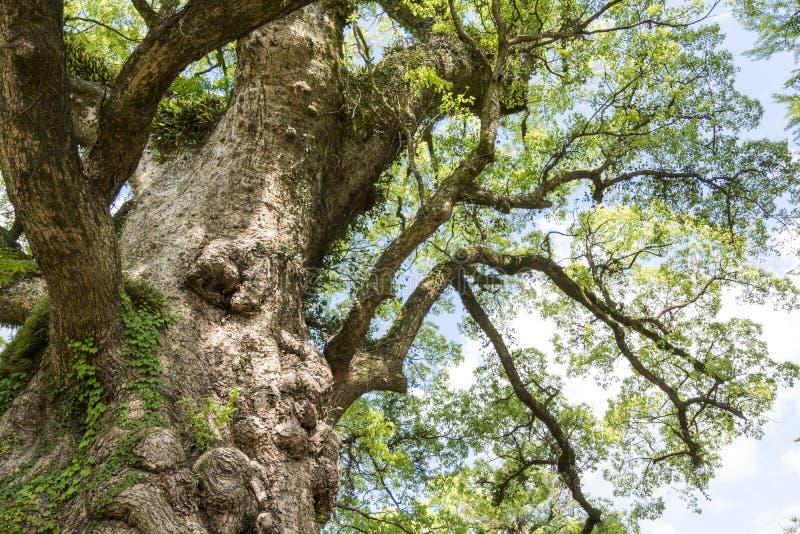 Grande árvore de cânfora fotografia de stock