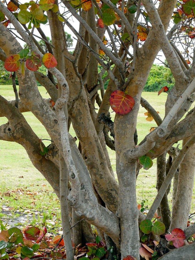 Grande árvore de Seagrape foto de stock